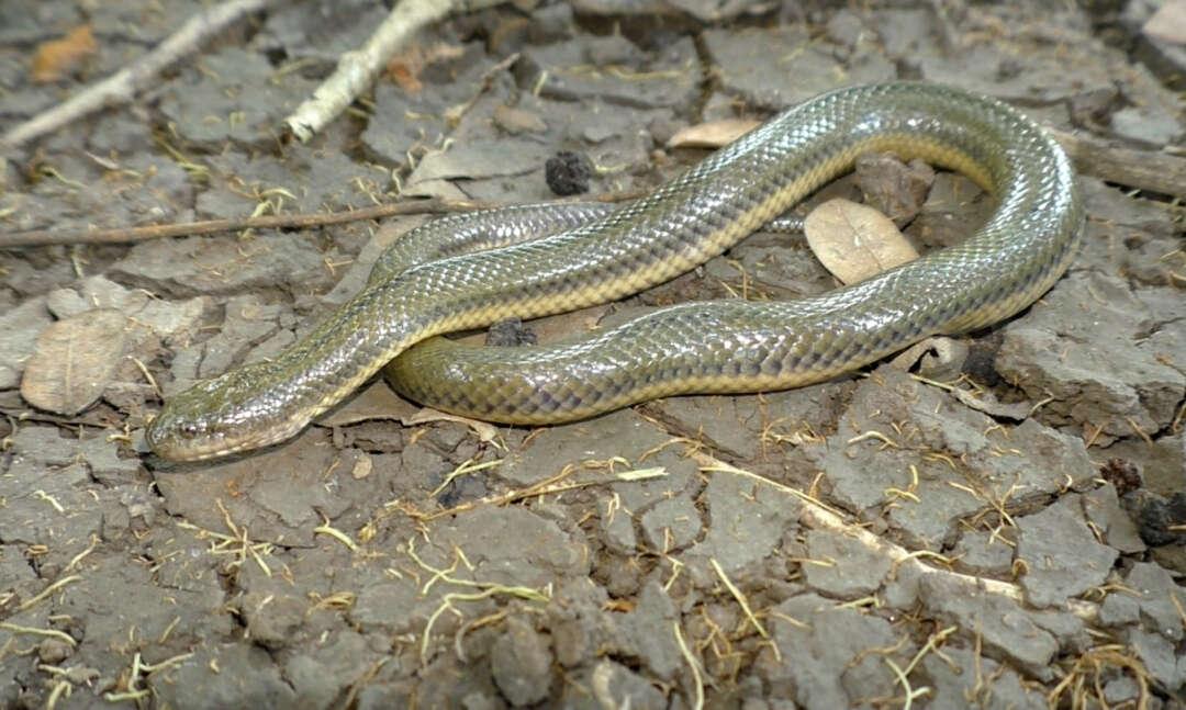 Schlammnatter Myanophis thanlyiensis