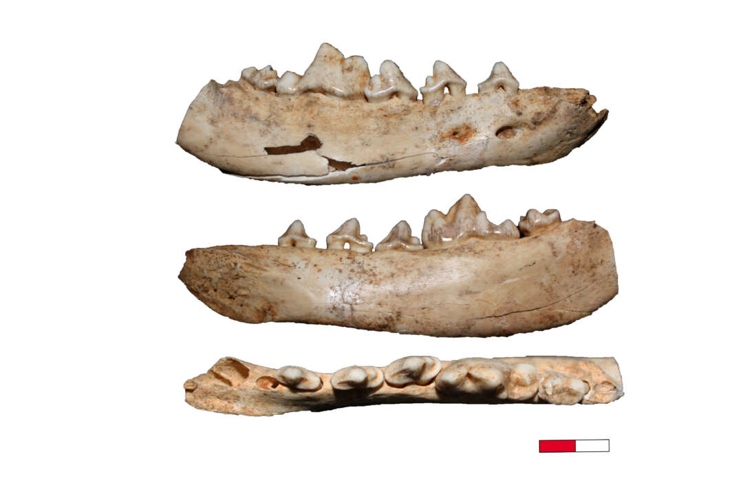 Canidae-Fossilien
