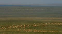 Mongolische Gazellen Herde