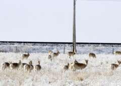 Mongolische Gazellen vor Eisenbahnzaun